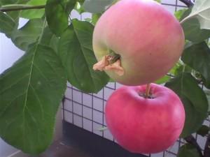 リンゴ赤2つ