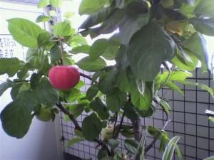 リンゴが1つ落ちた